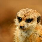 Meerkat by quirinusriddle