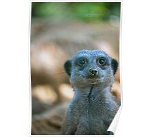 Funny Meerkat Poster