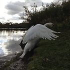 Duddingston swan by Graham Farquhar