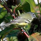 Blue headed Vireo by Dennis Cheeseman