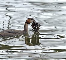 Great Crested Grebe with Nesting Material by Sue Robinson