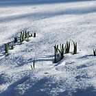 Daffodil Leaves in Snow by Sue Robinson