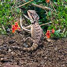 Bearded Dragon - Kanmantoo, Adelaide Hills, SA by Mark Richards