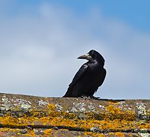 Rook on a Roof by Sue Robinson