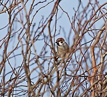 Eurasian Tree Sparrow by Sue Robinson