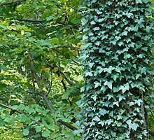 Ivy and Leaves by Sue Robinson
