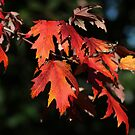 Colorful Fall Leaves by hummingbirds
