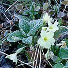 Frost on Primrose by Sue Robinson