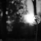 Dandelion at Sunset by NAH Photography