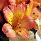 Orange Alstroemeria by Linda Makiej