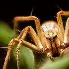Lynx Spider Stack by Kerrod Sulter