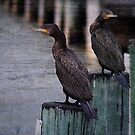 Black Cormorants by Margi