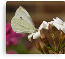 Small White butterfly Canvas Print