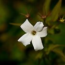 Jasmine Blossom by Sue Robinson