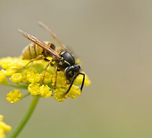 Wasp on Yellow Flower by Sue Robinson