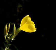 Common Evening Primrose by Sue Robinson