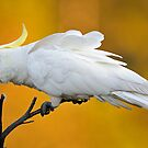 The Sulphur Crested Cockatoo. Cedar Creek, Qld, Australia. by Ralph de Zilva