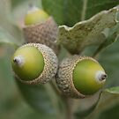Acorns by marens