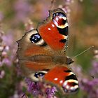 Peacock Butterfly by marens