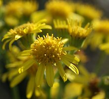 Ragwort by marens