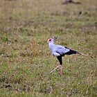 Secretary Bird on the Masai Mara by Sue Robinson