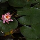 Lotus by johnnycuervo