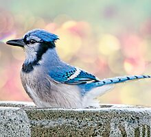 Bathing Blue Jay by Bonnie T.  Barry