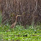 Purple Heron juvenile by Sue Robinson