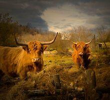 Heeland Coos... :)) by Gisele Bedard
