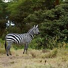 Burchell's Zebra by Sue Robinson