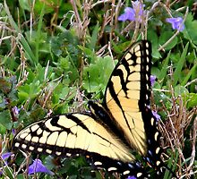 Tiger Swallowtail in grass by Paula Tohline  Calhoun