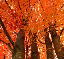 Autumn Orange Canopy by lorilee