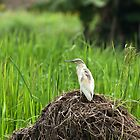 Squacco Heron in Rice Field by Sue Robinson