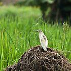 Squacco Heron in Rice Field by Sue Robinson