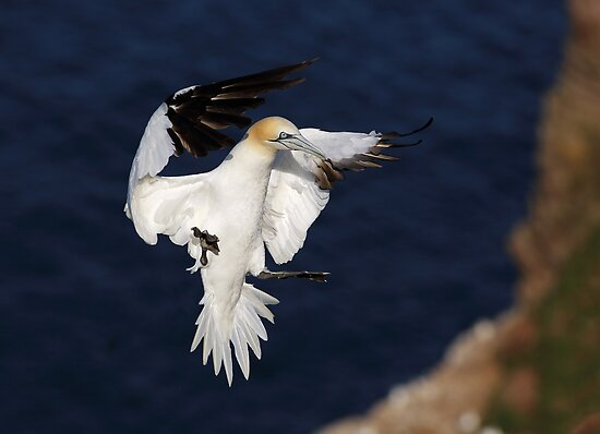 Northern Gannet by Grant Glendinning