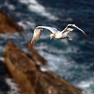 Northern Gannet in flight by Grant Glendinning