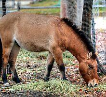 Przewalski Horse by Larry Trupp