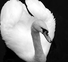 Swan in winter by Emma Elton