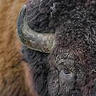 Bison up close by Daniel  Parent