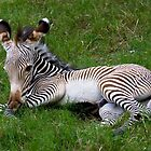 Zebra baby by ruth  jolly