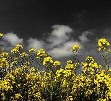 027 Rape Field, Cheshire by George Standen
