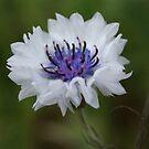 White Cornflower by marens