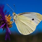 Cabbage White by Dave Zack