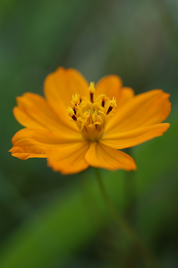 Orange Cosmos Flower by marens