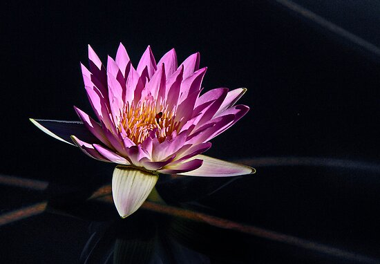 Waterlily in Pink by cclaude