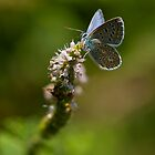 Blue butterfly by Csar Torres