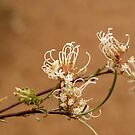 Grevillea endlicheriana by kalaryder