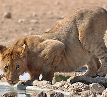 Lion cub at the water hole by jeff97
