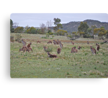 The Kangaroo mob Canvas Print