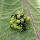 Common Green Shield Bugs hatching by Sue Robinson